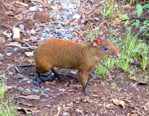 Agouti - like a rabbit with short ears.