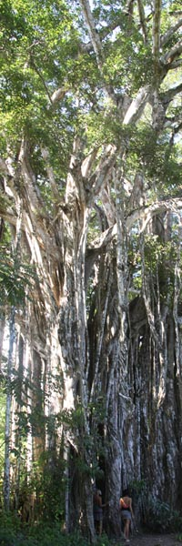 Giant Higueron (also known as a Fig or Banyan tree) on the road from Montezuma to Cabuya.