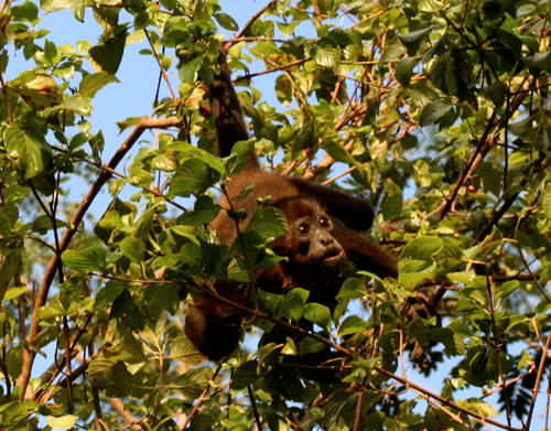 A young Howler Monkey in Montezuma.
