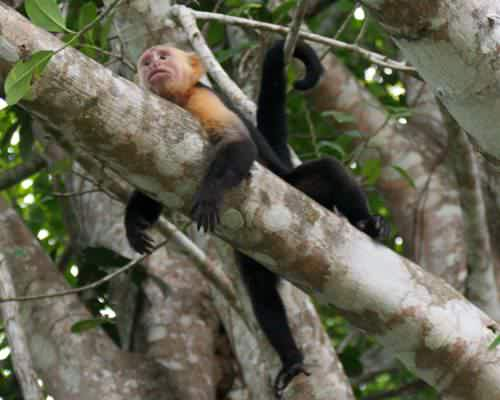 One of a troop of 'white throated capuchins' frequently seen on the property.